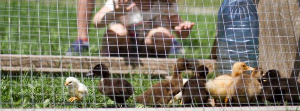 duckling coop